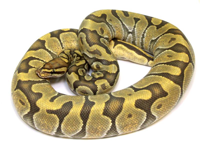 ball python, enchi ghost