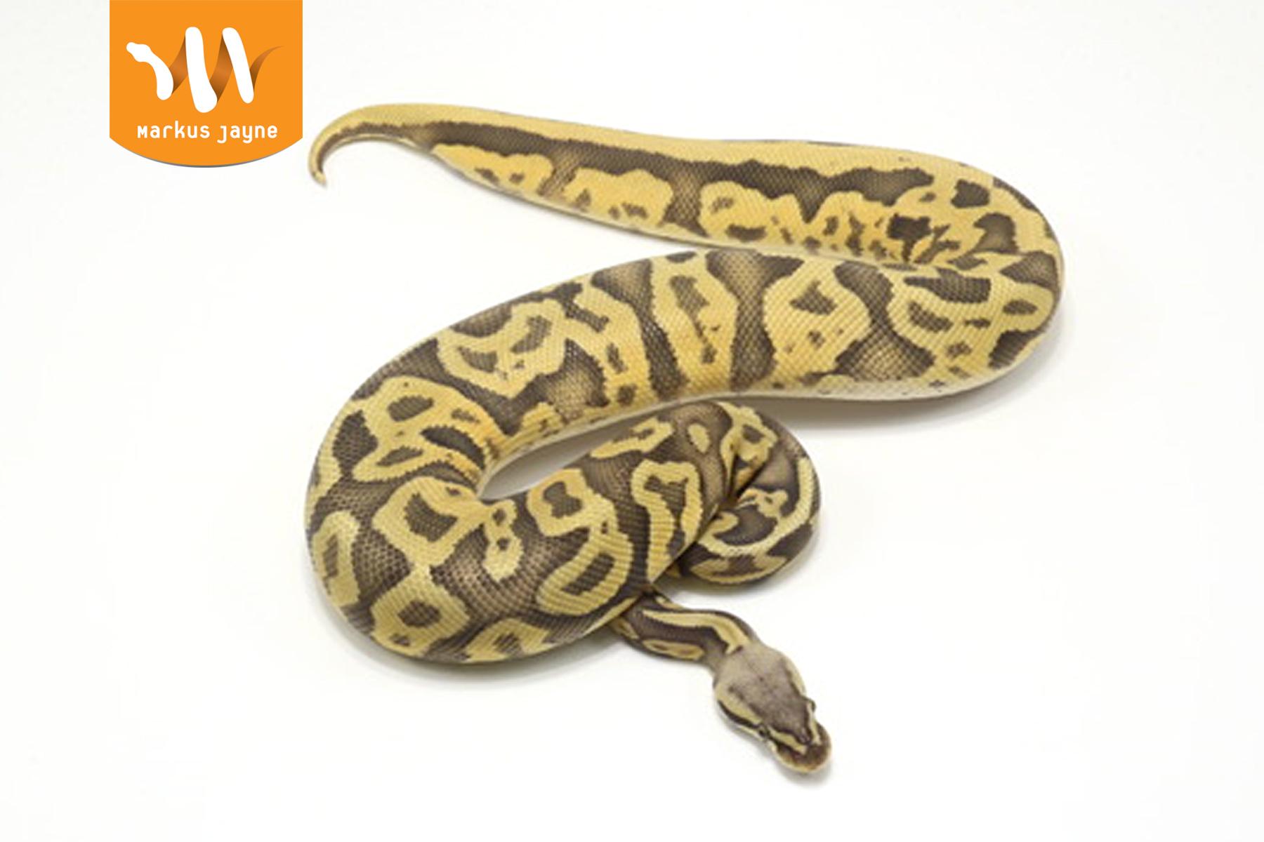 Ghost Pastel Leopard – Female – 2020