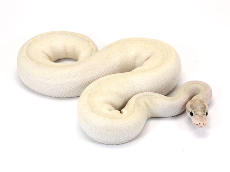 ball python, ivory