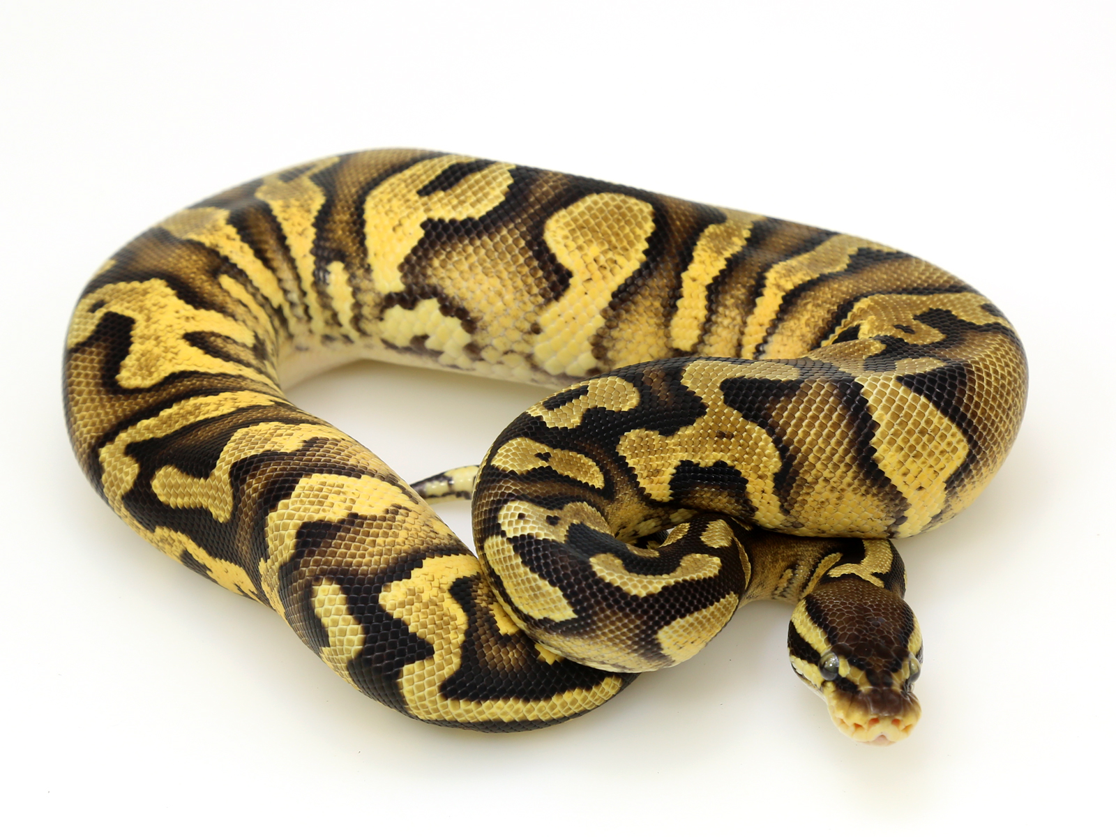 Java Enchi Yellow Belly
