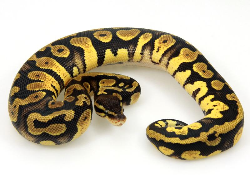 Java Pastel