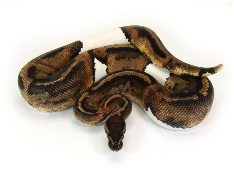 ball python, java piebald