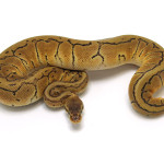 ball python, lemon blast