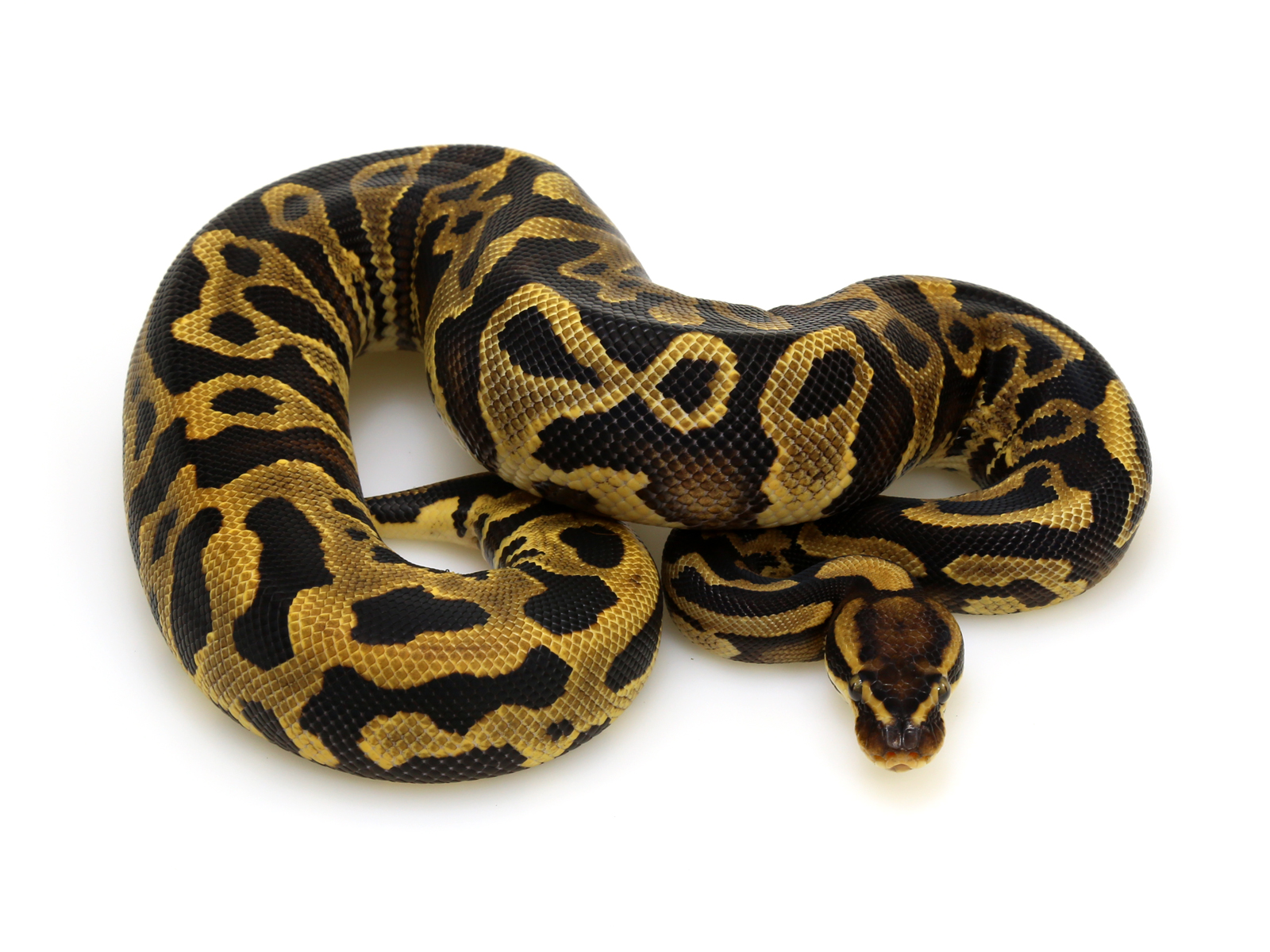 Leopard Yellow Belly