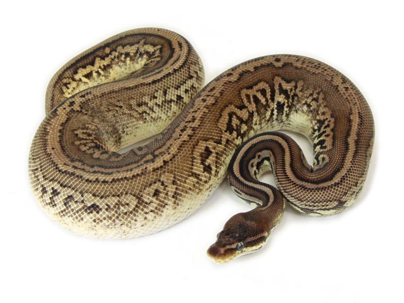 ball python, leopard pewter