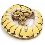 ball python, mojave bumble bee
