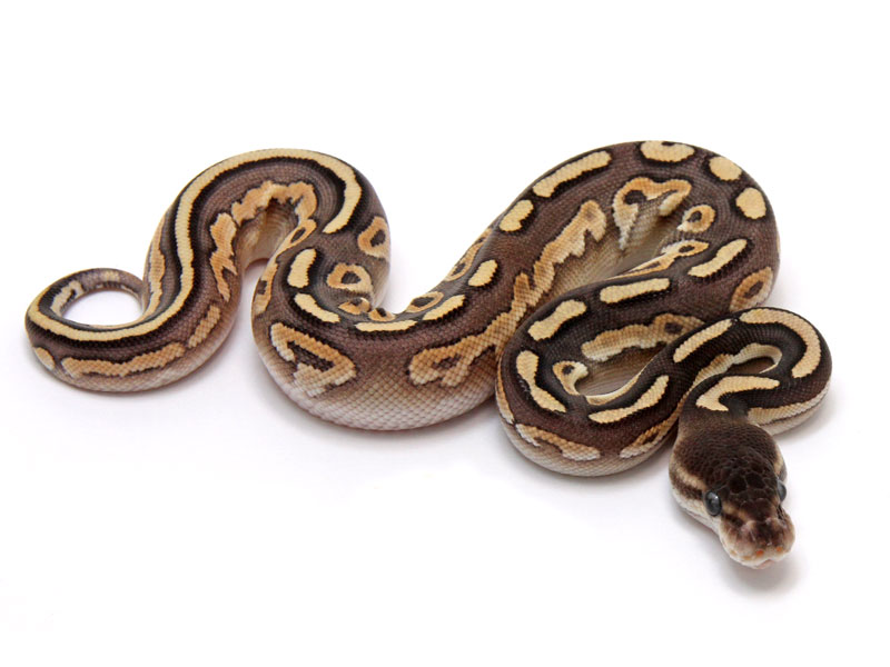 ball python, mojave cinnamon enchi