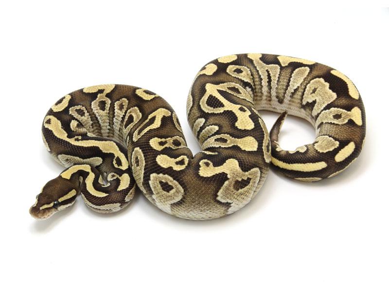 ball python, mojave