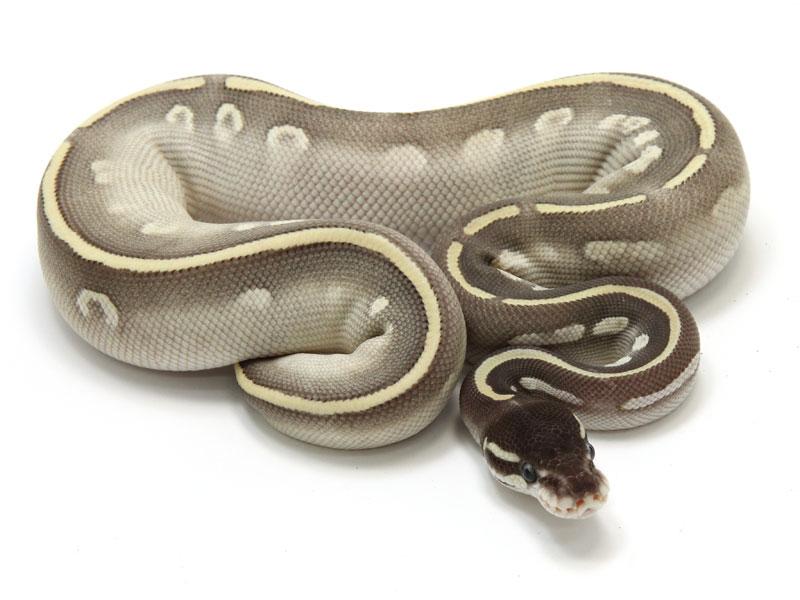 ball python, mojave mystic