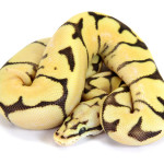Ball Python, Orange Dream Bumblebee Fire
