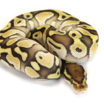 Ball Python, Orange Dream Butter