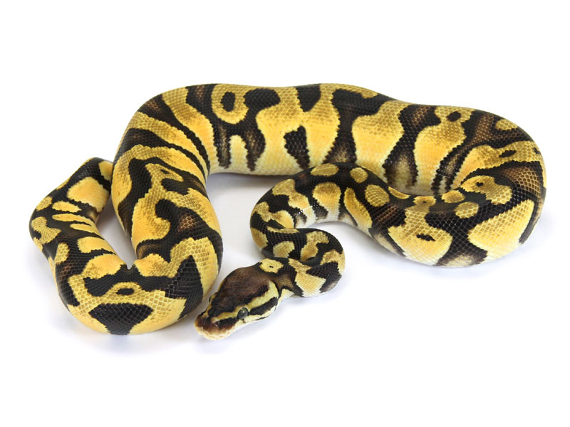 Ball Python, Orange Dream Pastel