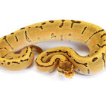 Ball Python, Orange Dream Pinstripe Fire