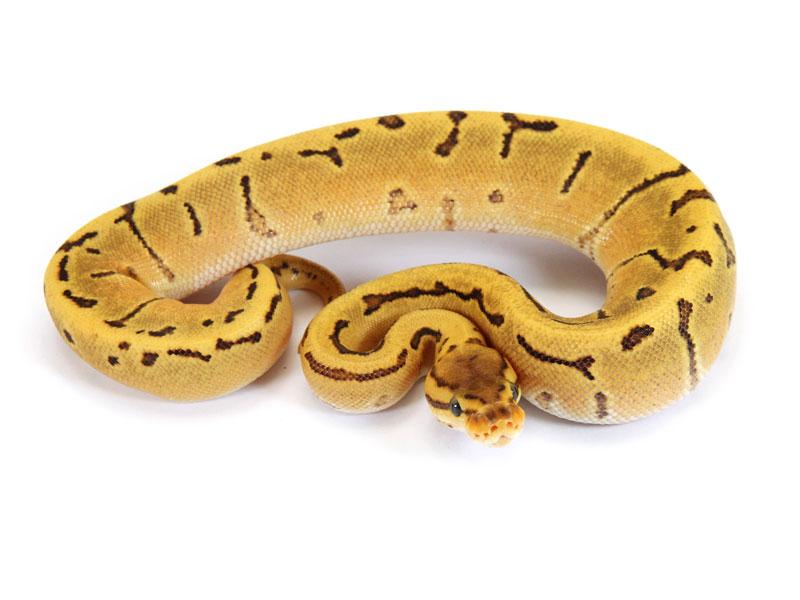 Ball Python, Orange Dream Pinstripe Fire