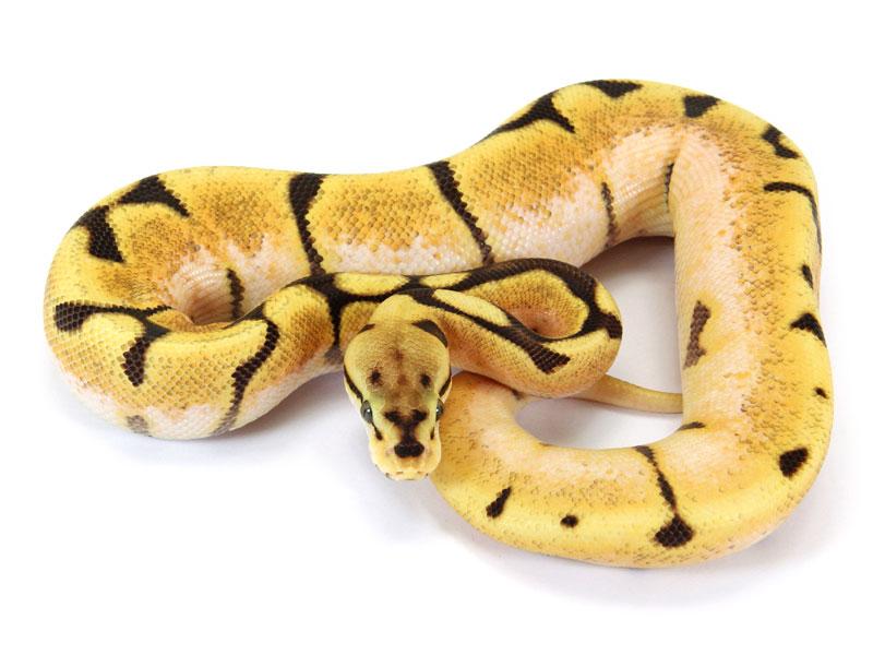 Ball Python, Orange Dream Spider Fire