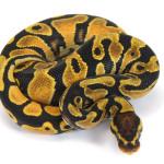 Ball Python, Orange Dream Yellow Belly