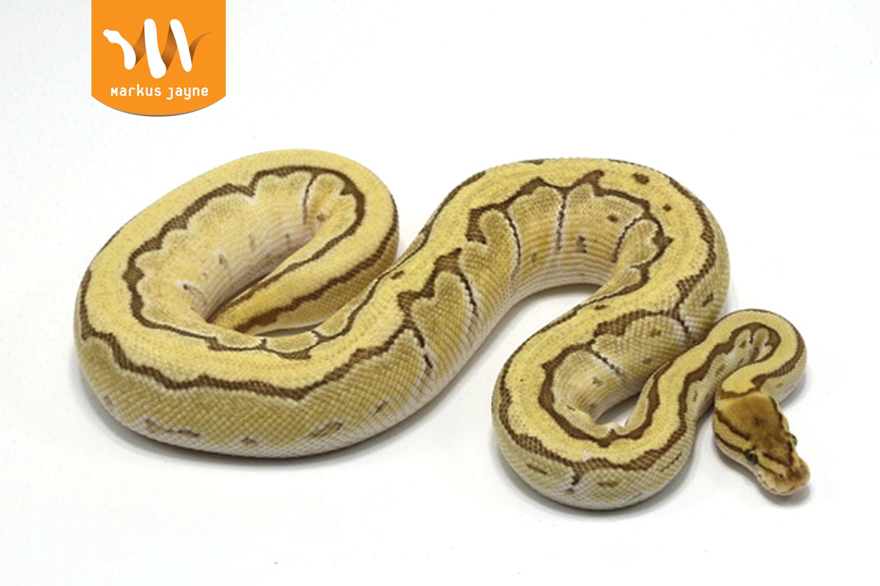 Orange Dream Butter Pinstripe – Male – 2020