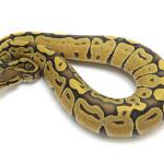 ball python, orange ghost