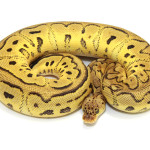 ball python, pastel clown
