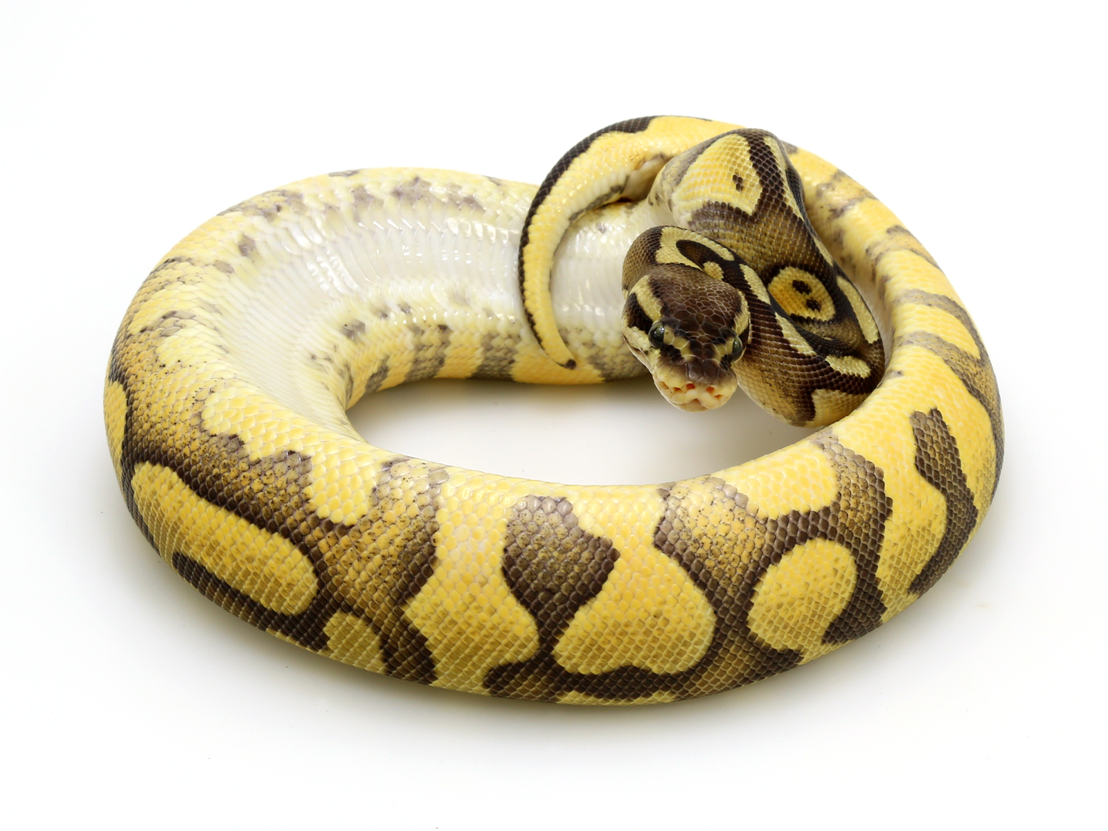 Enchi Pastel Yellow Belly