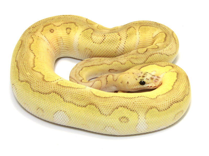 ball python, pastel lesser clown