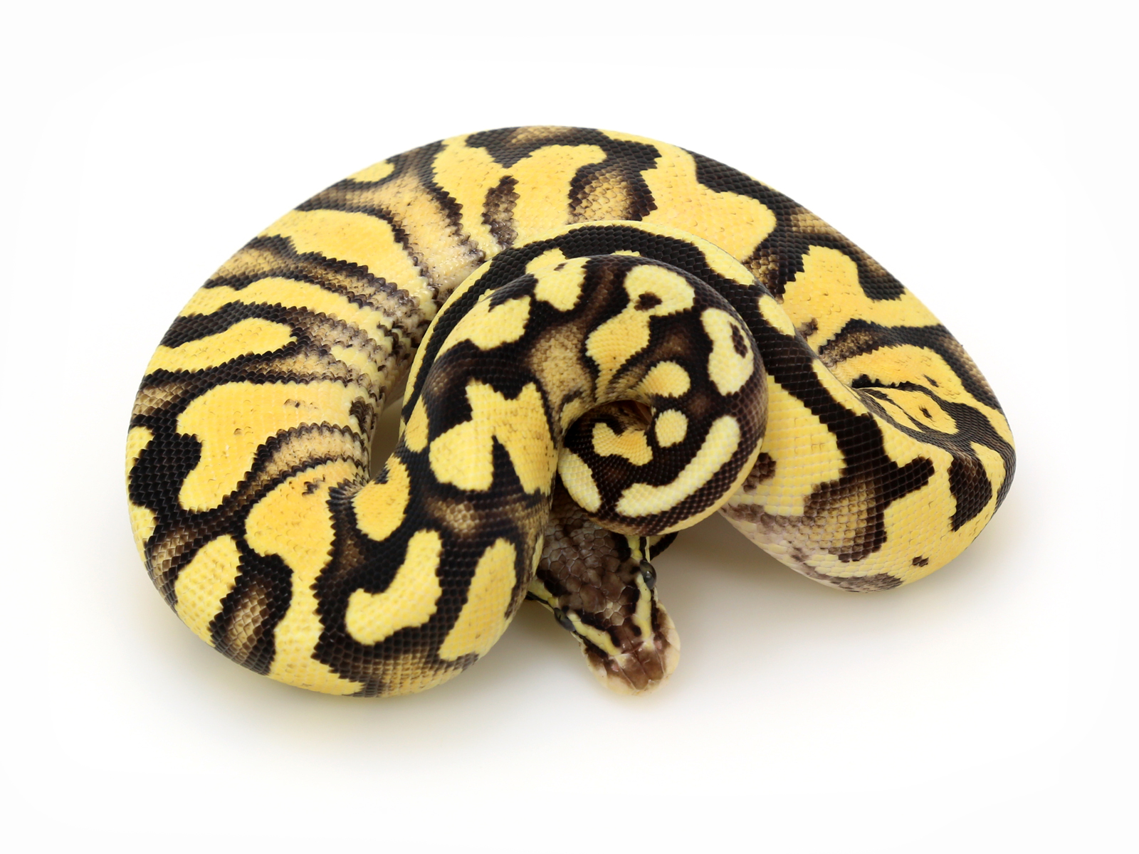 Pastel Yellow Belly