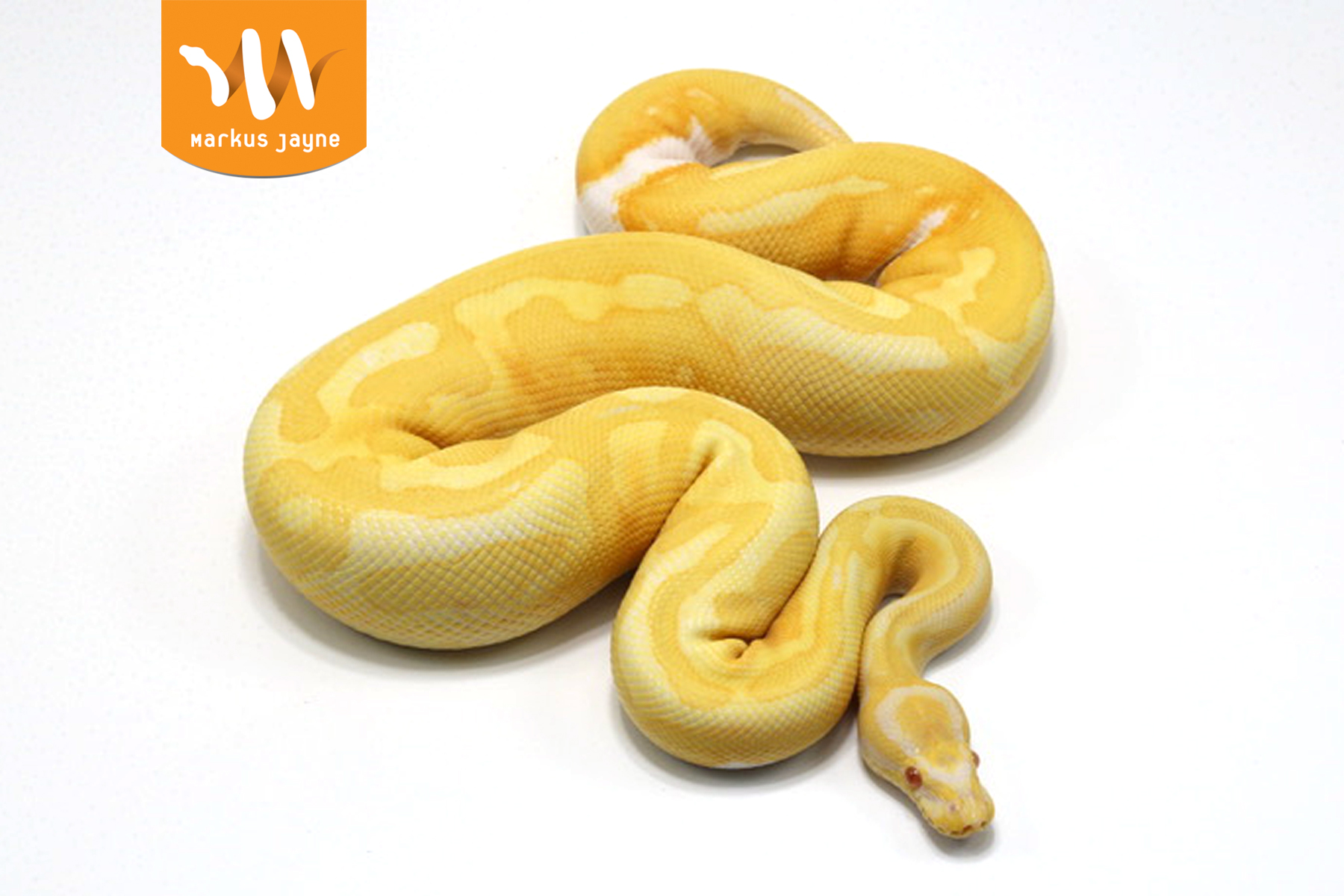 Piebald Albino Java – Male – 2020