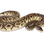 ball python, pewter