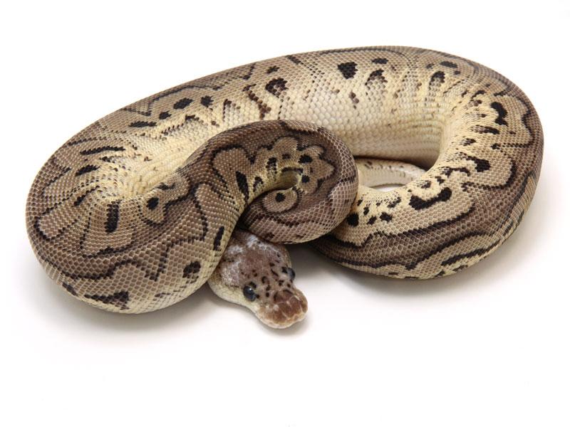 ball python, pewter clown