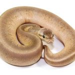ball python, pewter pinstripe