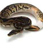 ball python, ringer het pied