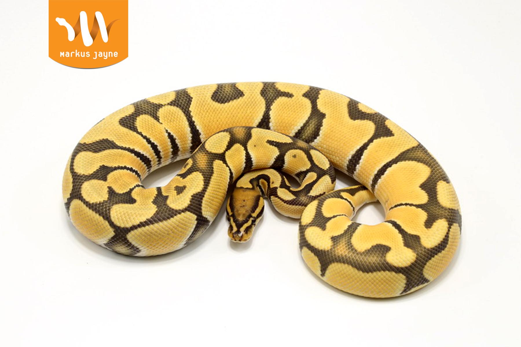Super Orange Dream Hypo – Male – 2020