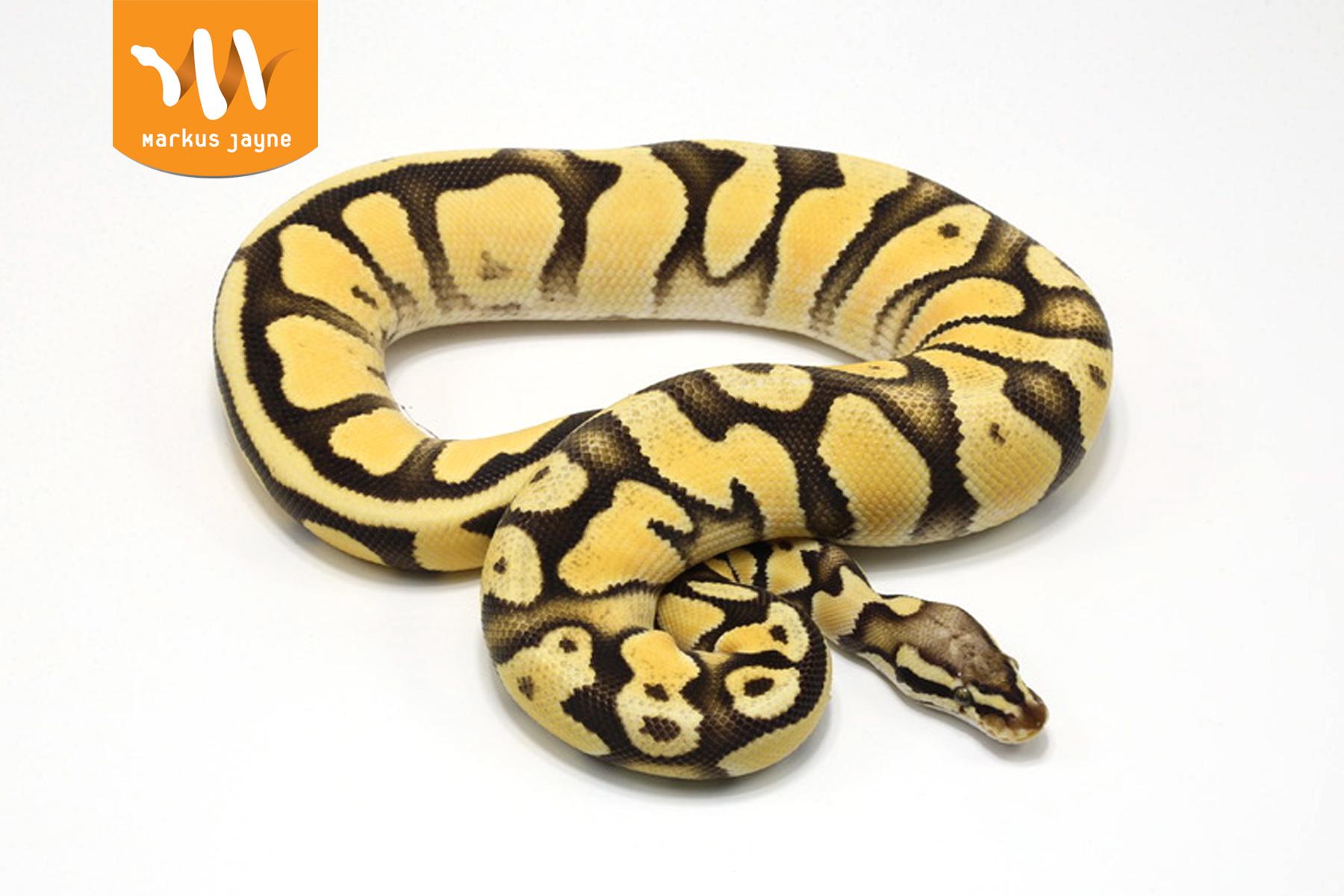 Super Orange Dream Pastel – Male – 2020