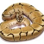 ball python, spider fire