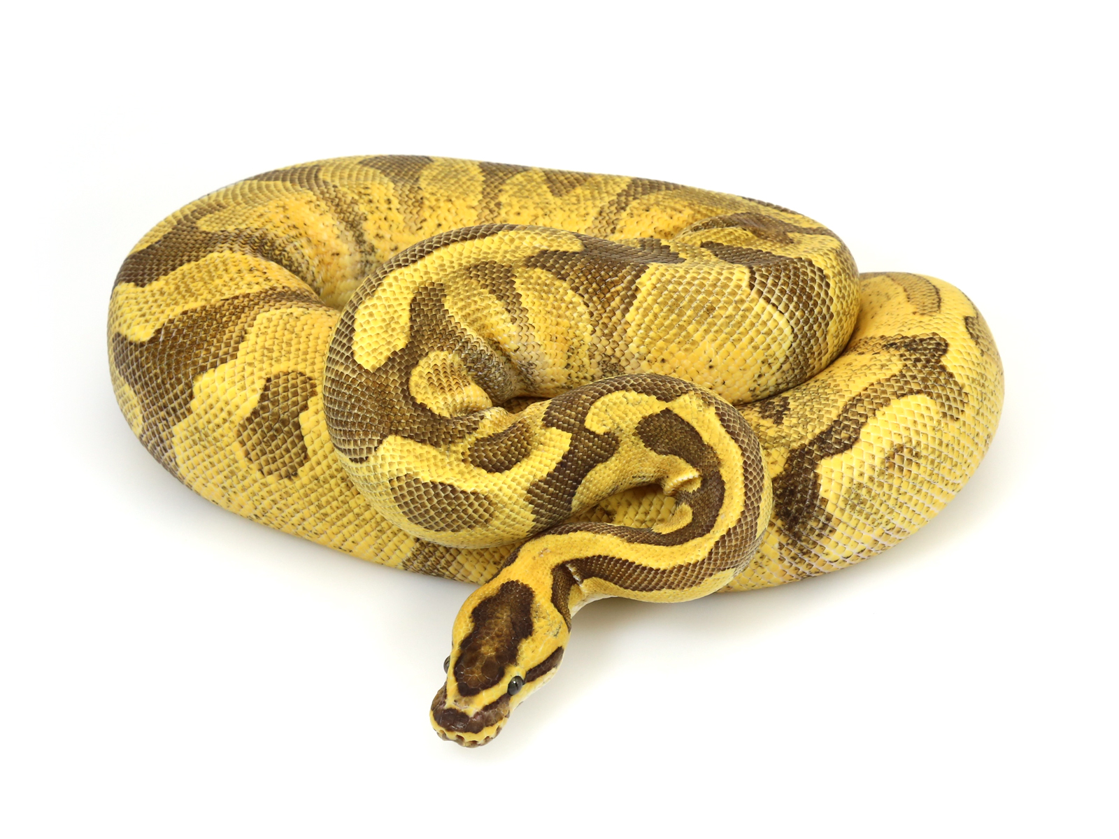 Super Enchi Yellow Belly Fire
