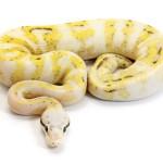 Ball Python, Super Citrus Pastel Super Stripe