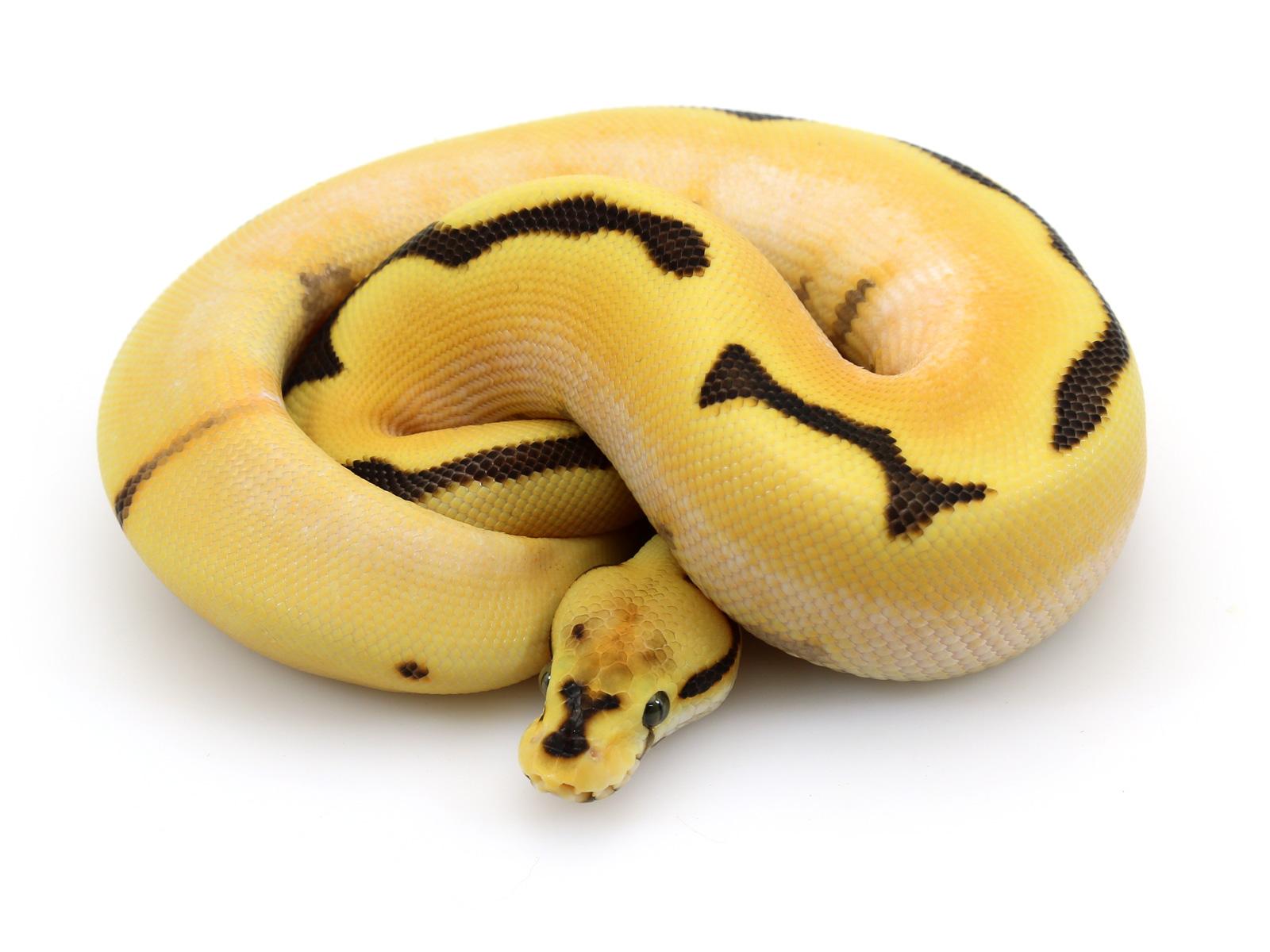 Super Orange Dream Yellow Belly Spider Fire