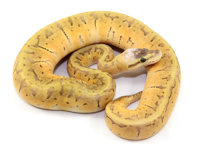 ball python, super pastel pinstripe