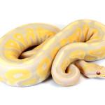 ball python, toffino cinnamon