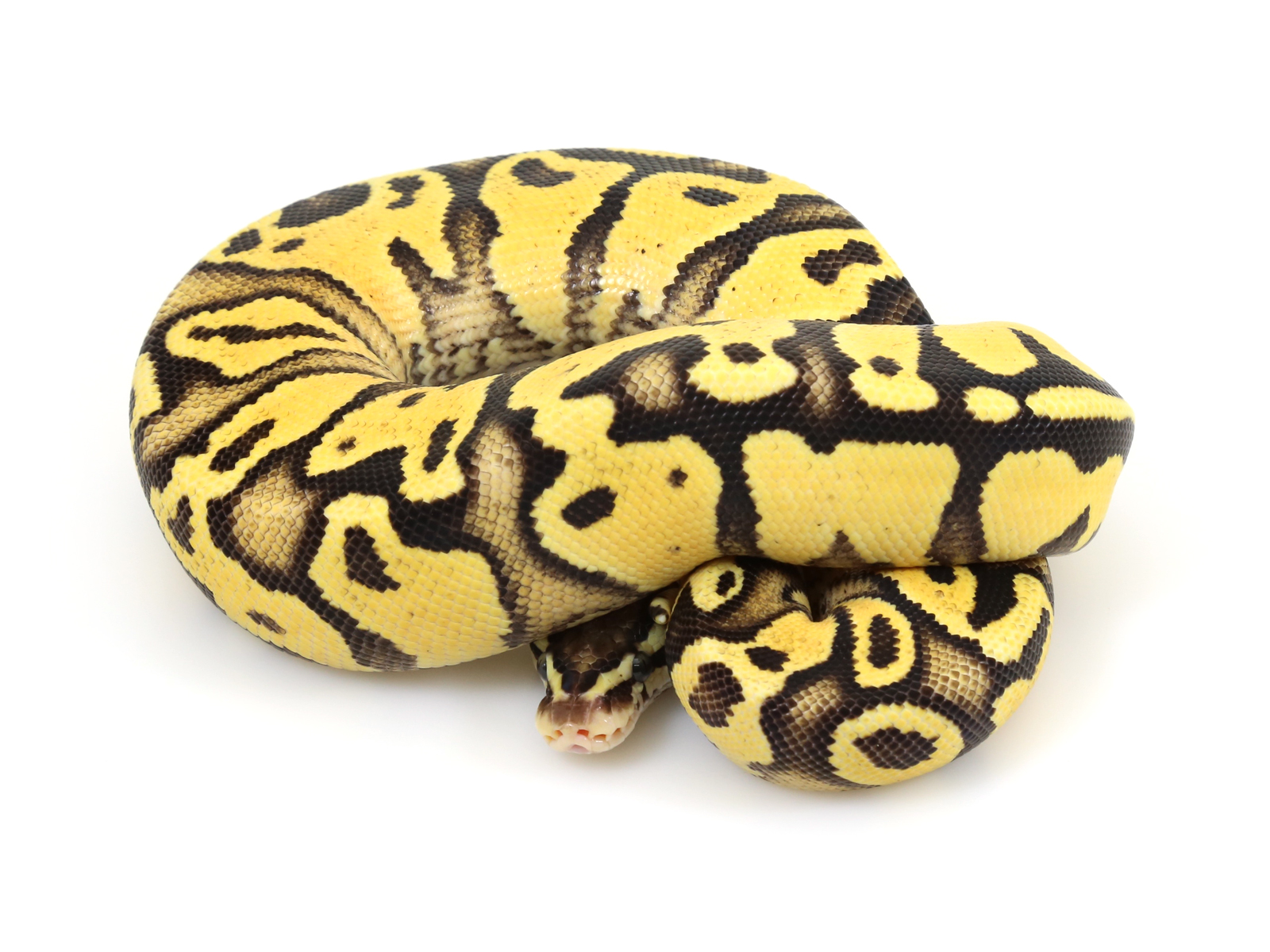 Yellow Belly Firefly