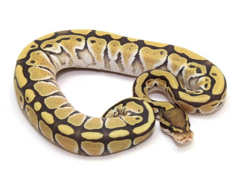 ball python, yellow ghost