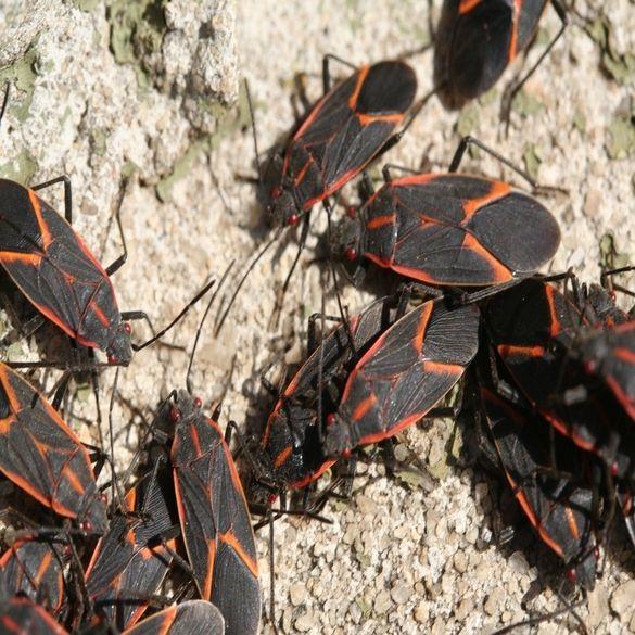 Box Elder Bug Control | Lawn & Pest Control Xperts