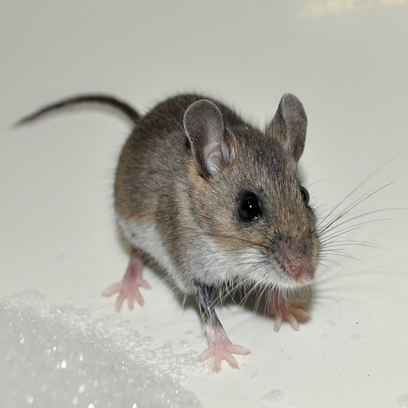 Mouse Control | Lawn & Pest Control Xperts
