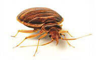 Bed Bugs | Wisconsin Pest Identification | Lawn & Pest Control Xperts