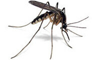 Mosquito | Wisconsin Pest Identification | Lawn & Pest Control Xperts