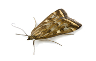 Pantry Moth | Wisconsin Pest Identification | Lawn & Pest Control Xperts