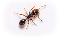 Pavement Ant | Wisconsin Pest Identification | Lawn & Pest Control Xperts