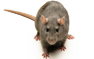Rat | Wisconsin Pest Identification | Lawn & Pest Control Xperts