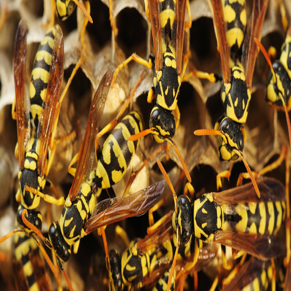 Bee & Wasp Control | Lawn & Pest Control Xperts