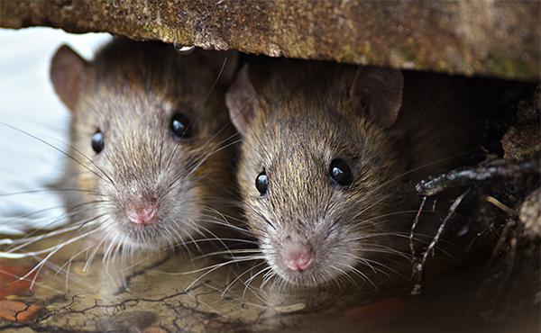 mouse exterminator kenosha, kenosha exterminator, mouse control kenosha